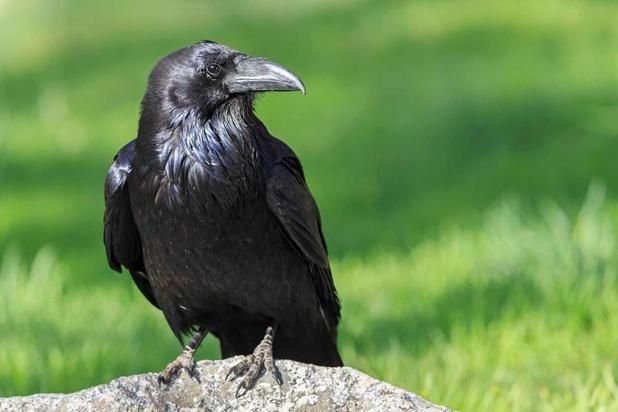 L'oiseau le plus intelligent du monde