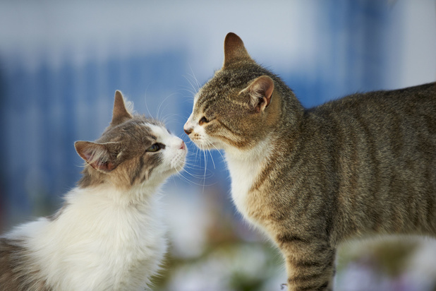 Huiskatten kunnen coronavirus aan elkaar doorgeven