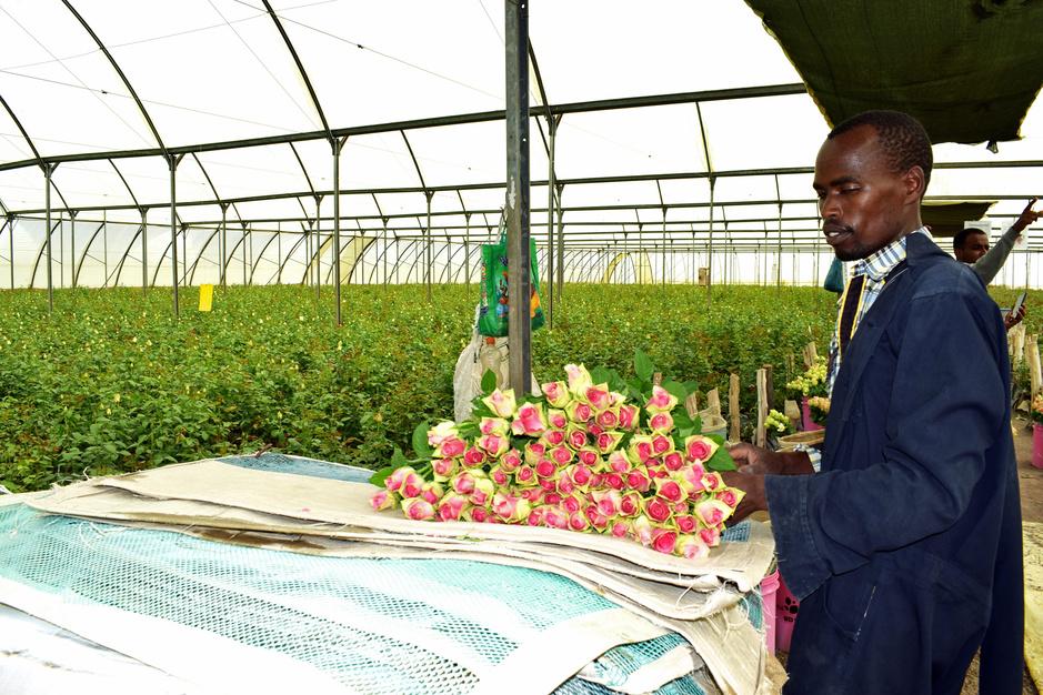 In Kenia is de ene rozenplantage de andere niet: 'Klagen is ontslag vragen'