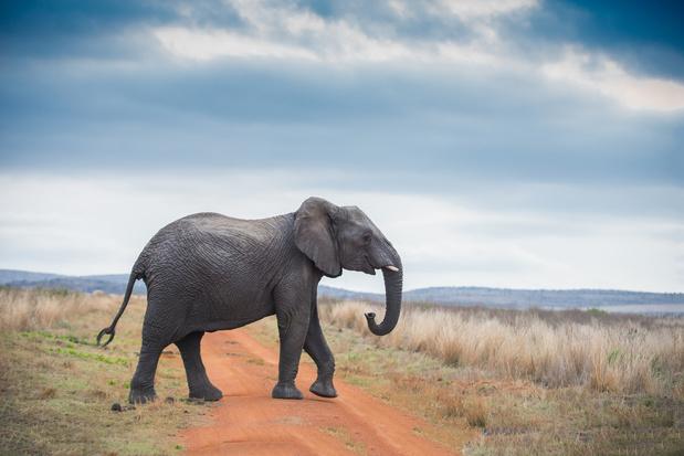 Naar een verbod op Afrikaanse olifanten in dierentuinen en circussen?
