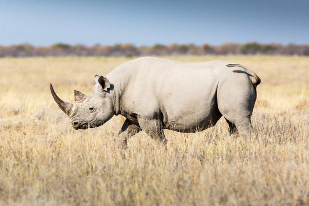Un rhinocéros blanc, espèce en danger d'extinction, est né à Pairi Daiza