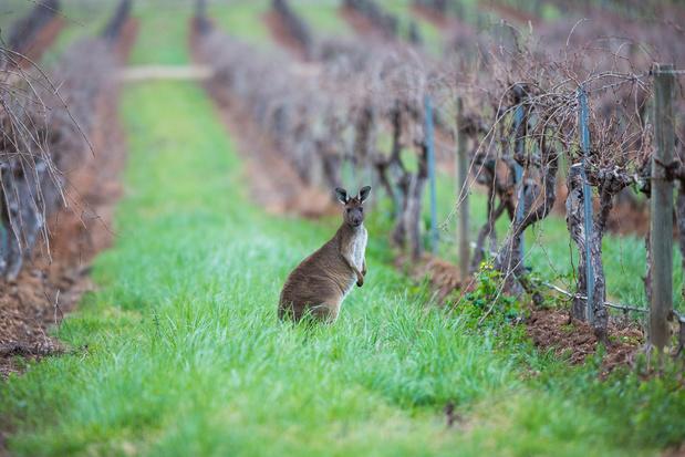 Kenners houden hun hart vast voor Australische wijn