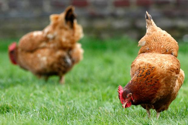 Ook particulieren moeten vanaf zondag pluimvee afschermen tegen vogelgriep