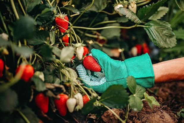 Boeren zoeken opnieuw massaal helpende handen