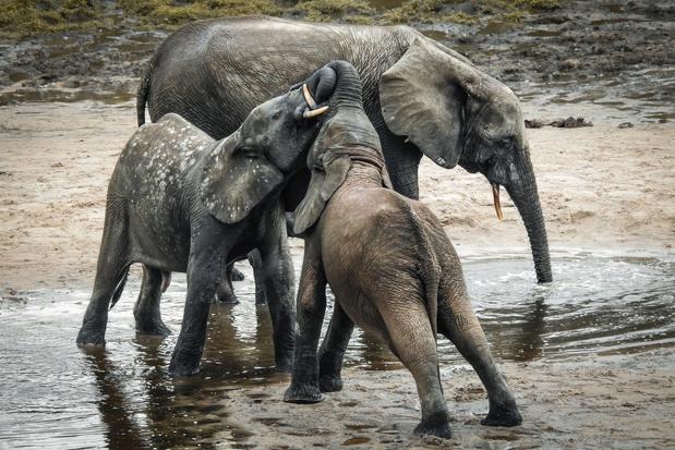 D'anciens chasseurs pygmées tentent de sauver les derniers éléphants de Centrafrique (en images)