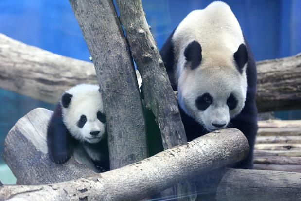 Baptême médiatique pour le dernier-né des grands pandas à Taïwan