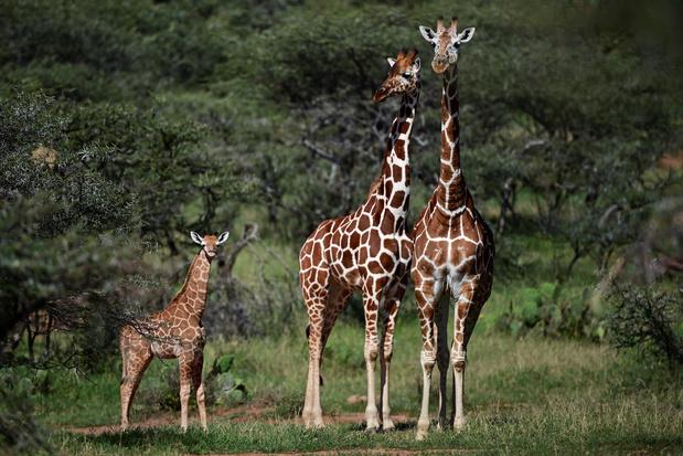 """En Afrique, la girafe et la menace d'""""extinction silencieuse"""" (en images)"""