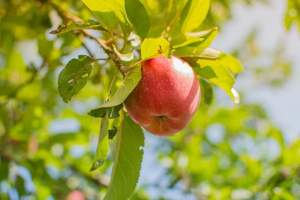 Faircoop lanceert Belgische appelen en peren aan een eerlijke prijs