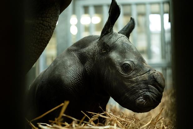 Un rhinocéros blanc, espèce en danger d'extinction, est né à Pairi Daiza (vidéo + images)