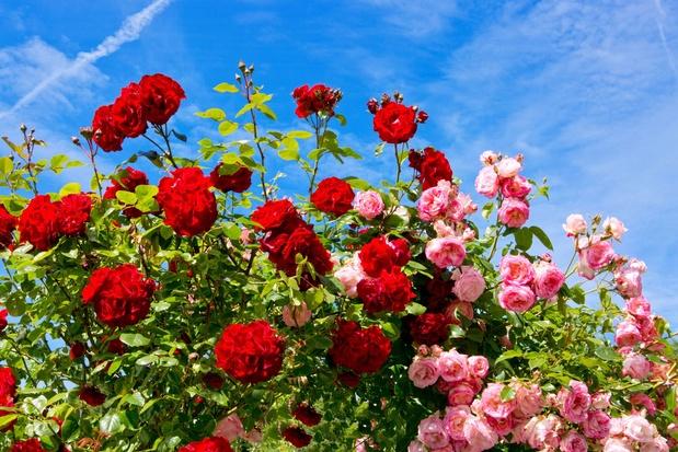 Trois façons de multiplier un rosier