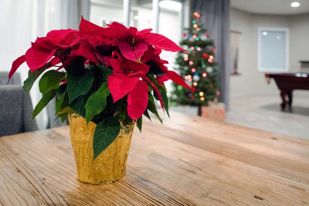 Quelles belles plantes pour les fêtes?