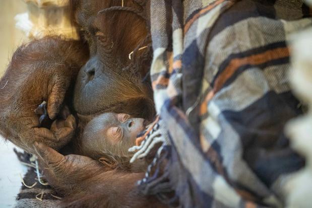 Carnet rose à Pairi Daiza: un nouvel orang-outan a agrandi la famille