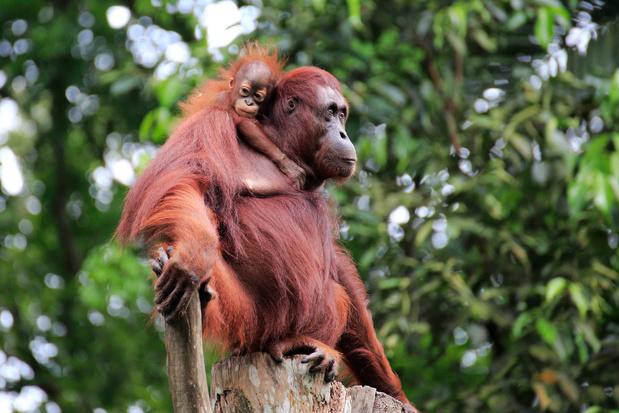 Grootschalige studie staaft verdwijnen van orang-oetans bij oliepalmplantages