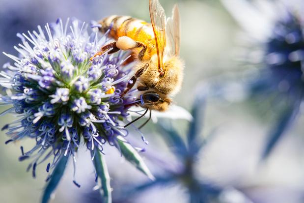 Nieuwe bijensoorten vinden steeds makkelijker de weg naar ons land