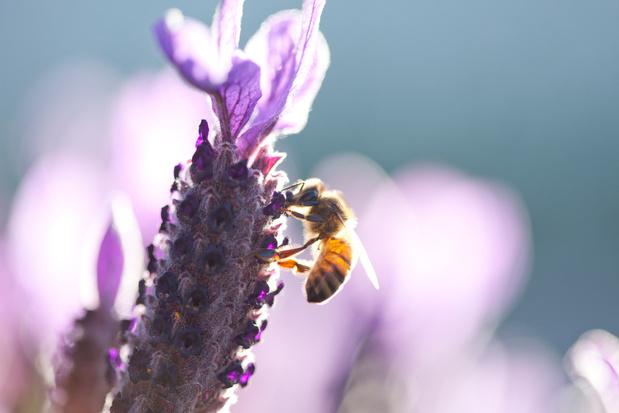 Frans onderzoek: 'biolandbouw is beter voor de bijen'
