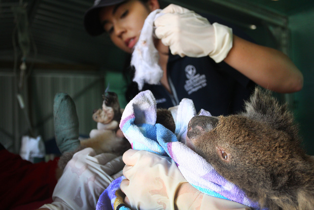 Faut-il vraiment aider les koalas australiens ?