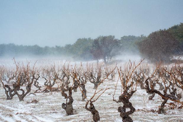 """Le gel aura un impact """"sévère"""" sur le vignoble bordelais"""