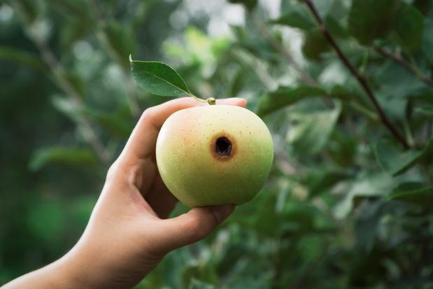 Hitte zorgt voor ongezien rampzalig jaar in Belgische fruitteelt