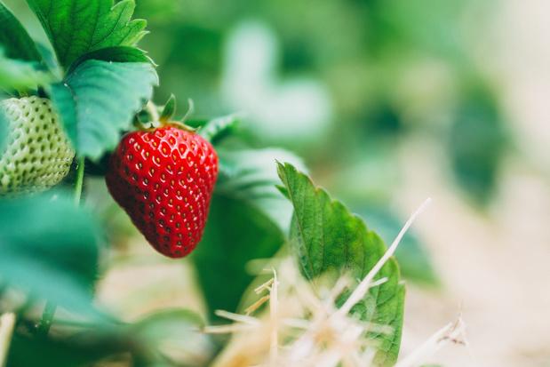 Eerste aardbeien van het seizoen geveild
