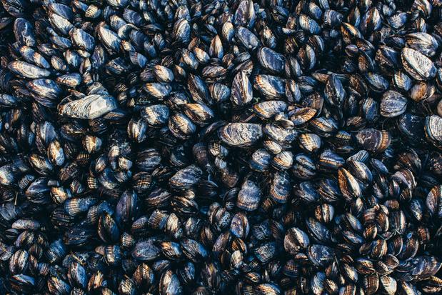 Nederlandse mosselvissers gaan duurzamer vissen in Waddenzee