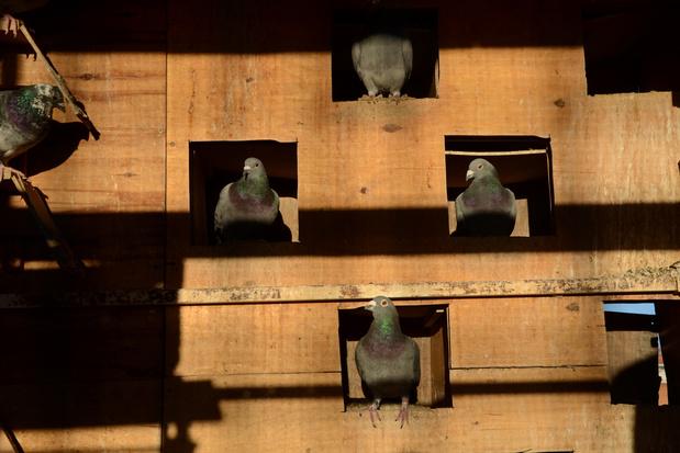 Belgische duif wordt geveild voor 1,6 miljoen euro