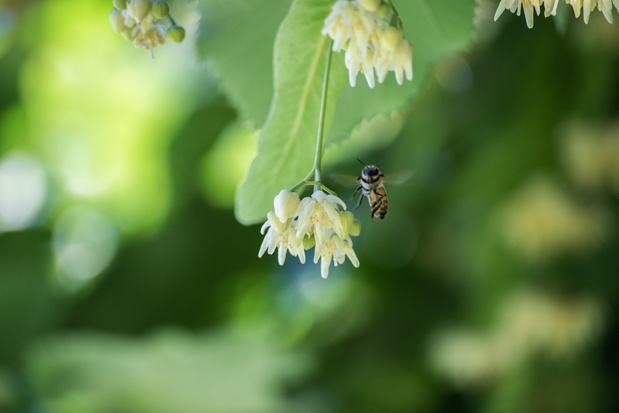Hasselt is bijenvriendelijkste gemeente van Vlaanderen 2019