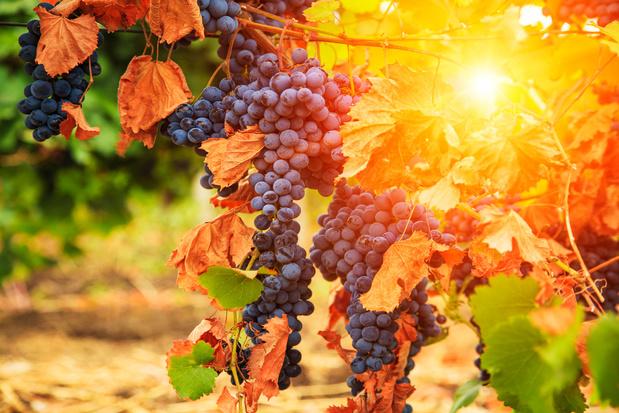 La sécheresse de l'été 2018 a boosté la production de vin en Allemagne