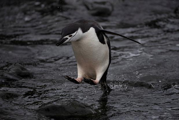 Greenpeace: 'Pinguïnkolonies slinken met 77 procent in halve eeuw tijd'