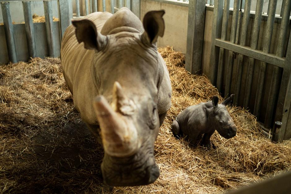 Naissance exceptionnelle d'un rhinoceros blanc à Pairi Daiza