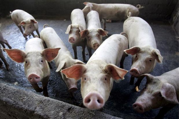 L'Allemagne en alerte face à la peste porcine