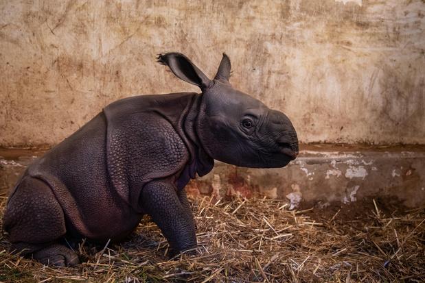 Blij babynieuws in neushoornverblijf Zoo Planckendael
