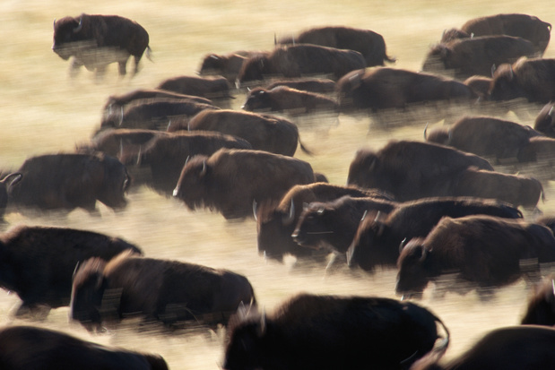 Le bison européen fait son retour grâce à des mesures de protection