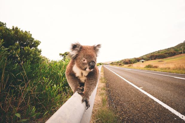 70 procent minder koala's na bosbranden in Australië