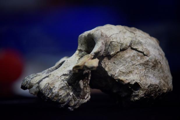 Le crâne d'un Australopithèque ancêtre de Lucy a été découvert
