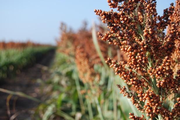 'Granen als sorghum en gierst zijn voedsel van de drogere toekomst'