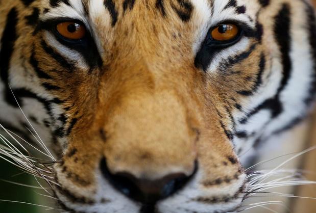 L'oeil du tigre: Les indémodables motifs animaliers