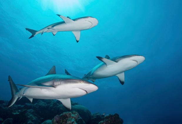 Samen hangen in het rif: haaien socialer dan gedacht