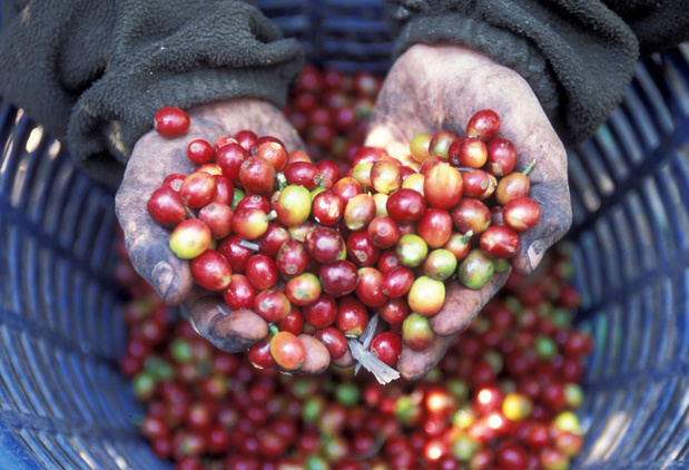Britse documentaire brengt kinderarbeid bij Nespresso en Starbucks aan het licht