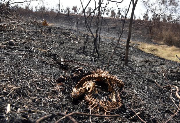 Incendies en Bolivie: pour de nombreux animaux, il est déjà trop tard