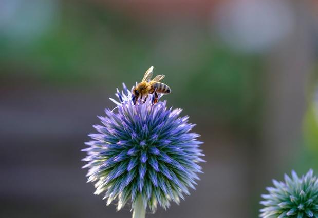 Bijen vliegen veel minder ver na blootstelling aan pesticiden