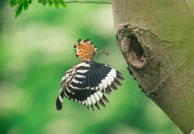 Broedende hop gespot in Limburg: zeldzame vogelsoort maakt na vijftig jaar comeback