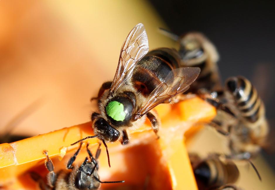 En images: élever des reines pour sauver les abeilles