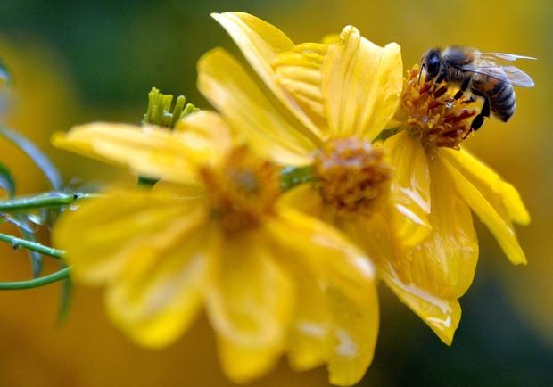 Le déclin des populations d'abeilles menace la sécurité alimentaire mondiale