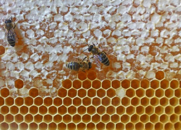 Rampzalige honingoogst door slechte lente
