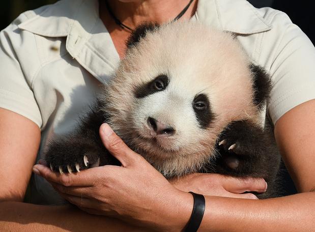 Tian Bao, le panda géant, restera plus longtemps que prévu à Pairi Daiza