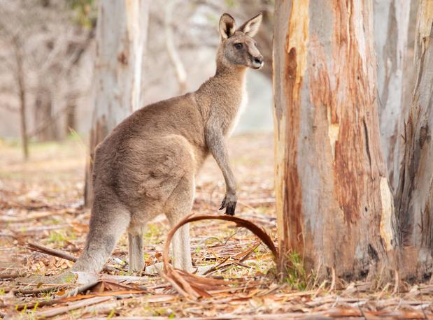 Ook Carrefour stopt verkoop kangoeroevlees in België