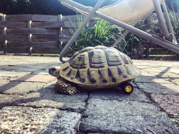 Un vétérinaire belge sauve une tortue avec des LEGOS (VIDEO)