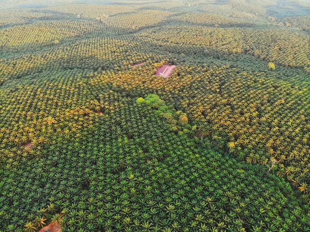 Wat met het regenwoud als er binnenkort weer palmolieplantages bij mogen komen in Indonesië?