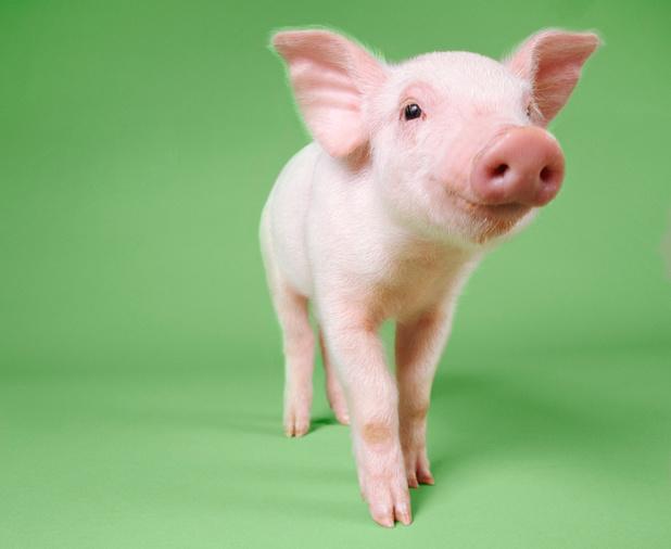 Un projet de recherche apprend à des cochons à se servir de joysticks