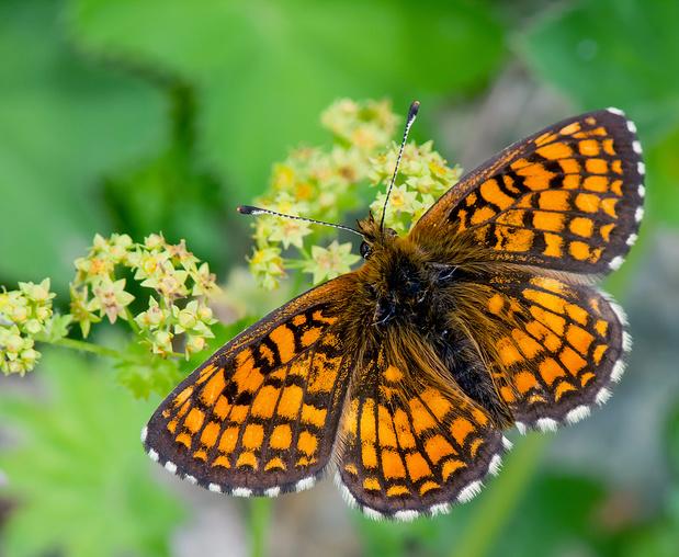Un papillon qui n'avait plus été vu en Flandre depuis 1959 observé à Westerlo